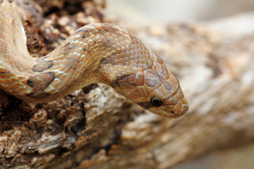 Head shot Banded kukri snake (Oligodon fasciolatus) a non-venomous snake but have sharp rear teeth, found at Southeast Asia