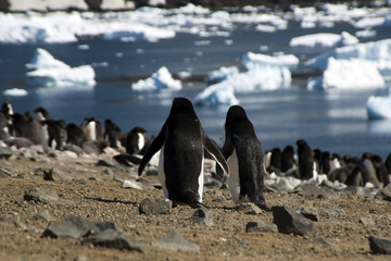 Devil Island Antarctica, two adult adelie penguins looking over colony and bay
