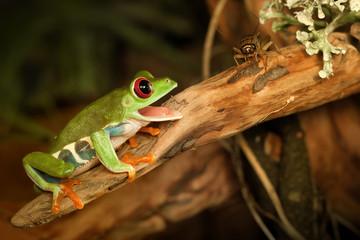 Red eye frog hunting cricket