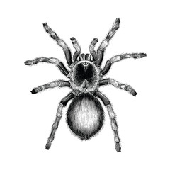 Tarantula spider hand drawing vintage engraving illustration,Tarantula spider tattoo design