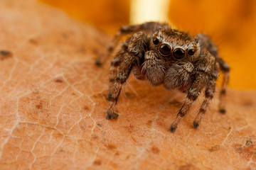 Jumping spider portrait on the brown autumn leaf