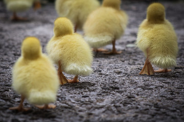 group of cute yellow fluffy ducklings in springtime, animal family concept