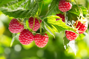 ripe raspberries in a garden
