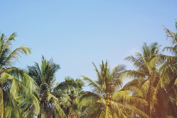 coconut palm trees farm Leave space copy write a message in the sky. perspective view with filter Tones vintage effect ,Warm tones. beautiful summer tropical landscape background.
