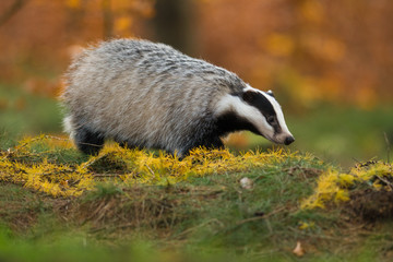 Portrait of European badger (Meles meles in his natural environment. Cute black and white mammal, autumn scenery from colorful forest.