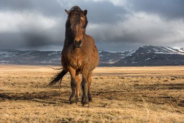 Icelandic horses. Is a local animal of Iceland.