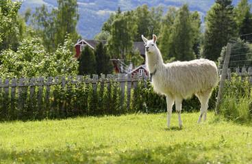 Poster Lama Lama at farm in Norway (Lama glama)