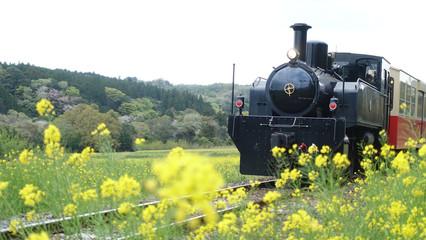 The retro train on Kominato Railway runs through field of canola flower during spring in Japan.