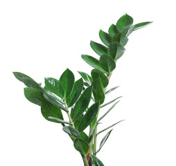 Tropical Zamioculcas leaves isolated on white