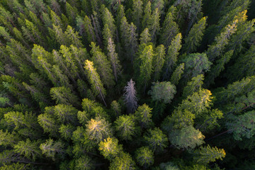 Aerial view of green taiga forest aka boreal forest
