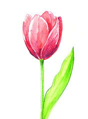 Pink watercolor tulip