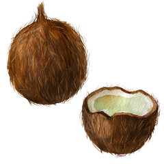 Watercolor coconut. Coconuts isolated on white. Handdrawn illustration.