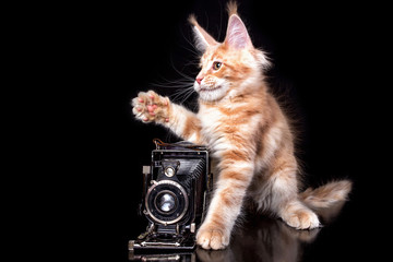 A nice maine coon kitten using an old camera on the black background. Isolated.