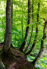 beech forest in summer