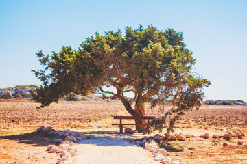 Tree of Love in Cyprus in a wheat field is a bench for relaxation and relaxation, pejazhaz on a white background