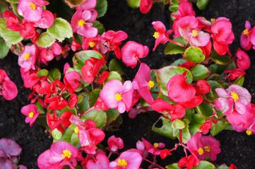 Begonia semperflorens red flowers