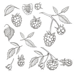 Hand drawn raspberry set isolated on white background. Retro sketch style vector illustration.