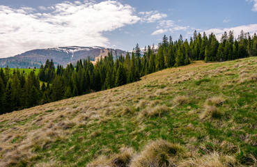 row of spruce trees on a grassy hillside