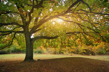 beautiful autumn oak tree branches. Composition of nature