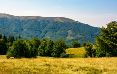 beech forest on grassy meadows in mountains. beautiful Landscape at the foot of Carpathian mountain Apetska