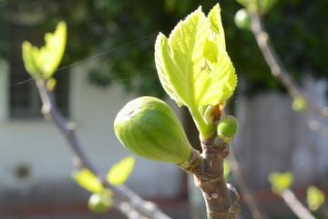 albero di fico in primavera