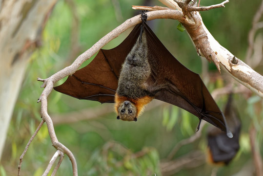 The grey-headed flying fox Pteropus poliocephalus is the largest bat in Australia. This flying fox has a dark-grey body with a light-grey head and a reddish-brown neck collar