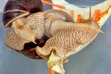 Giant african Achatina fulica snail eats on a cabbage.
