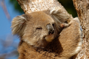 The koala (Phascolarctos cinereus, or, inaccurately, koala bear) is an arboreal herbivorous marsupial native to Australia