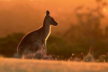 Foto op Aluminium Kangoeroe Forester (Eastern grey) Kangaroo, Macropus giganteus, Jumping, Tasmania, Australia, Sunset, Night photo