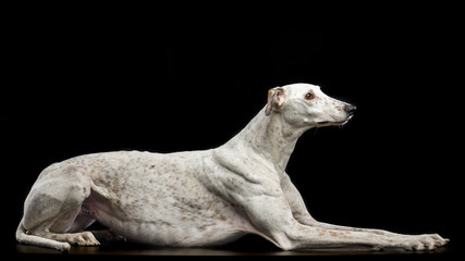 Greyhound Dog  Isolated  on Black Background in studio