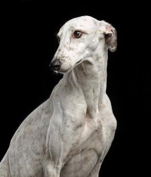 Greyhound Dog  Isolated  on Black Background in studio