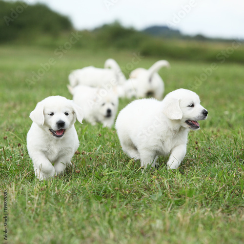 Beautiful Group Of Golden Retriever Puppies Running Stock Photo And