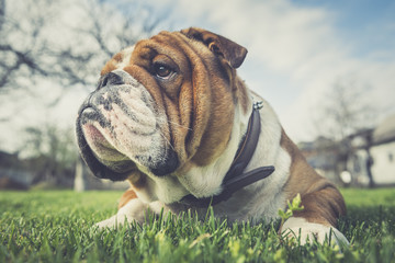 Portrait of English bulldog lying down on the grass,selective focus
