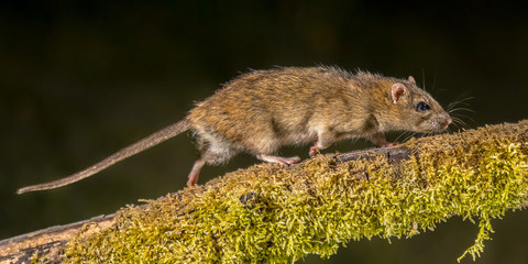 Strong Wild Brown rat at night