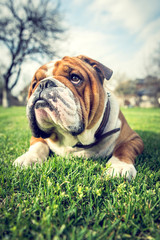 English bulldog outdoor laying down in the grass,selective focus