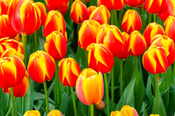 Orange yellow tulips, in spring, under the bright sun in the garden of Keukenhof-Lisse, Holland