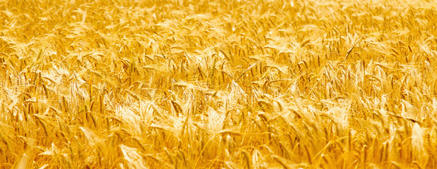golden barley background (agriculture, harvest, industry, summer, holiday concept)