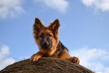 Young dog lies on the hay bundle, German Shepherd portrait.