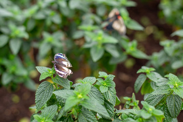 Butterfy on mint plant