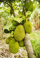 Jackfruit growing on a tree in Southern Vietnam
