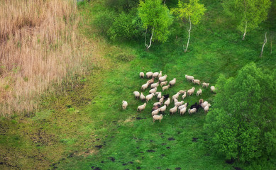 Aerial view on the sheeps herd. Natural composition with animal