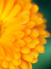 Orange flower calendula  Background. Extreme macro shot