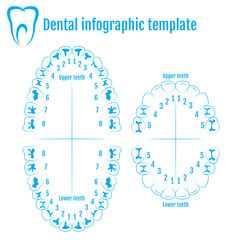 Orthodontist human tooth anatomy vector with numbering of teeth of an adult and a child. Medical dental infographic template