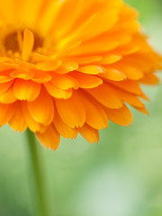 Orange flower calendula  Background. Extreme macro shot