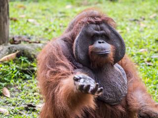 Orang-Utan demanding food at Bali Zoo
