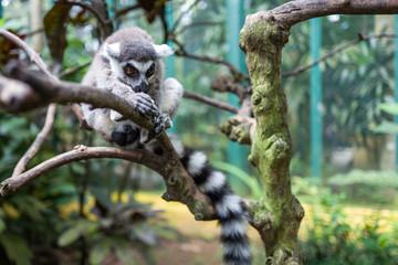 A lemur at Bali Zoo