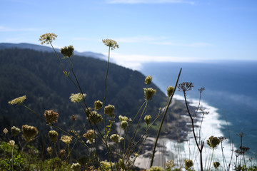 Queen Anne's Lace flowers with the coastline looking south from Cape Perpetua in the background