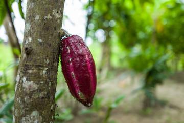 A cocoa pod in Bali