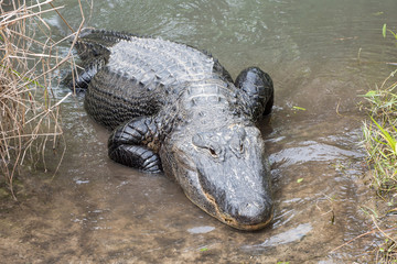 A large alligator crawls onto land.