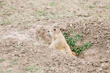 Prarie Dog In It's Hole